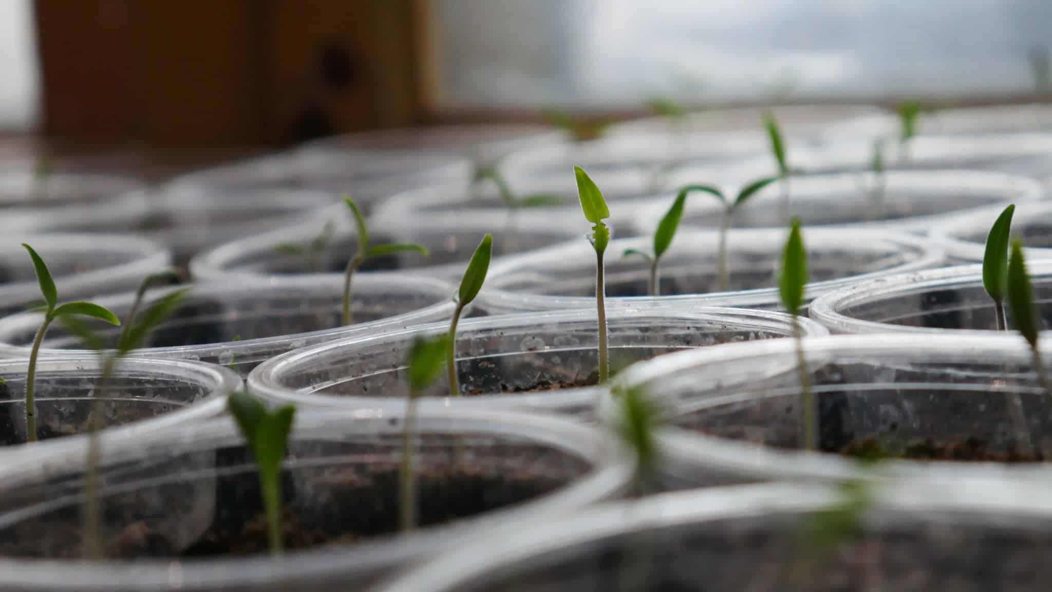 Seedslings