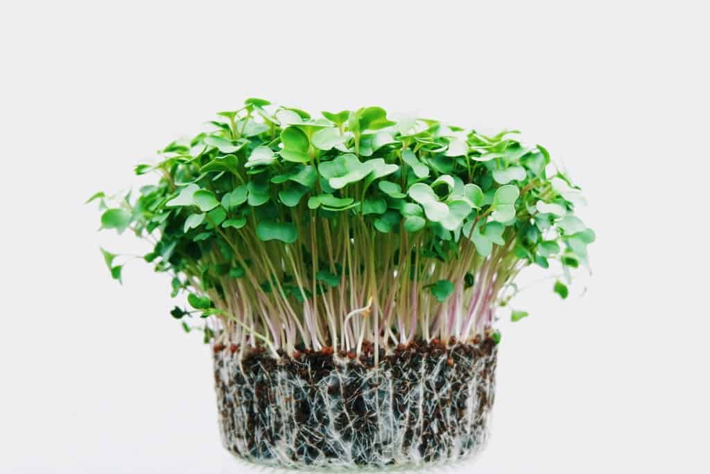 Westford: Adventures in Microgreens