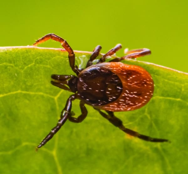 Mis-Adventures with Ticks! An interview with Entomologist Larry Dapsis